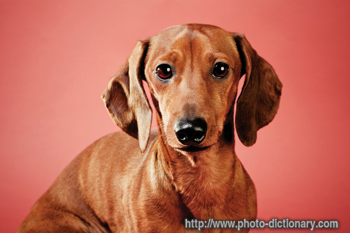 Dachshund Dog Bed The Original Bun Bed | Dog Breeds Picture