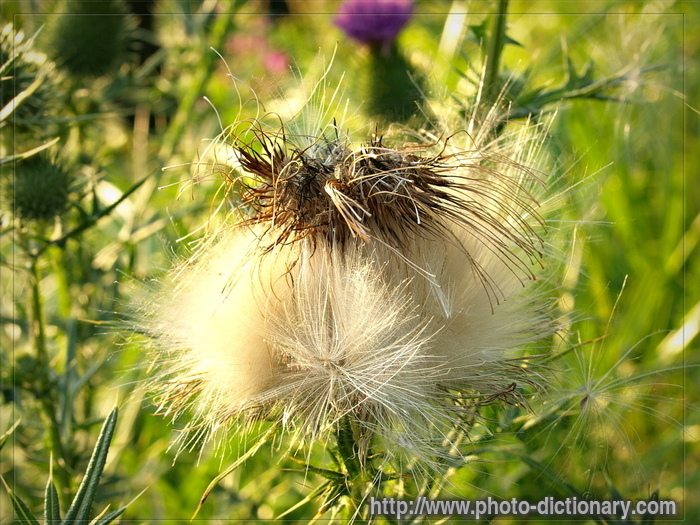 thistle - photo/picture definition at Photo Dictionary ...