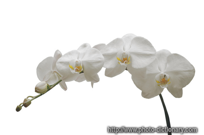 White Orchid Photo Picture Definition At Photo Dictionary