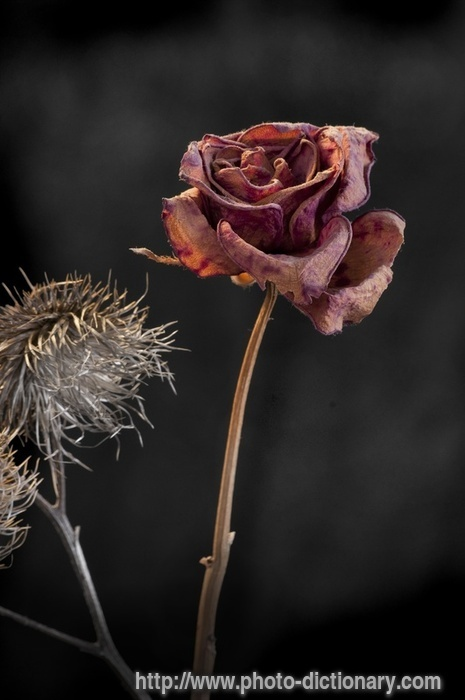 Wilting Rose Photo Picture Definition At Photo