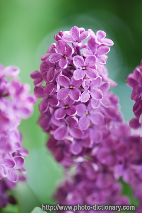 Lilac Photo Picture Definition At Photo Dictionary Lilac Word