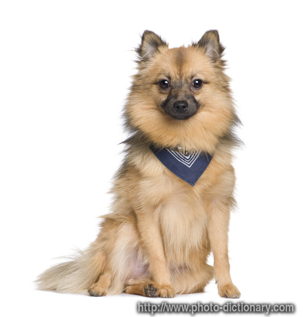 keeshond - photo/picture definition at Photo Dictionary ...