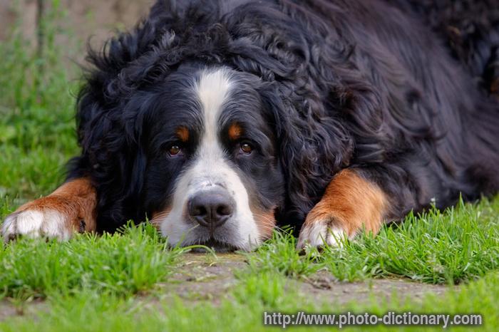 Bernese Mountain Dog Breeds