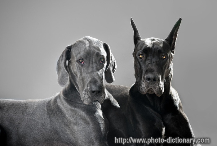 I A Great Dane Kwasi is an adoptable ...