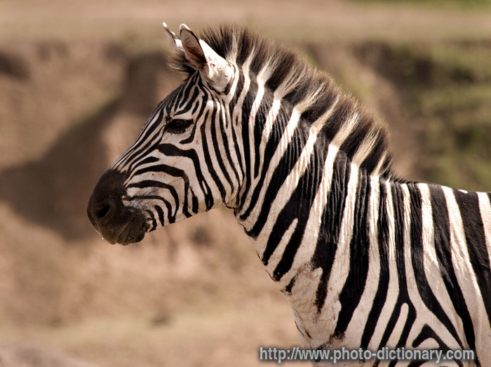 zebra - photo/picture definition - zebra word and phrase image