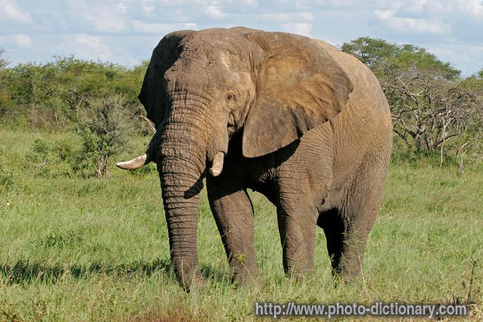 definition - elephant ...