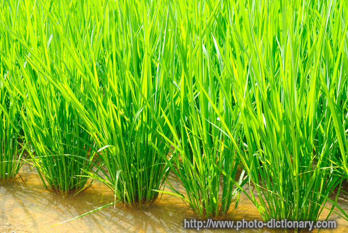 paddy field - photo/picture definition at Photo Dictionary - paddy ...
