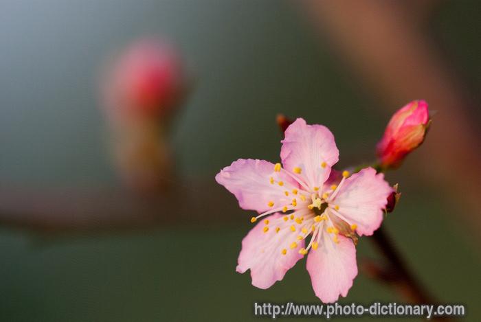 Sakura Photo Picture Definition At Photo Dictionary Sakura