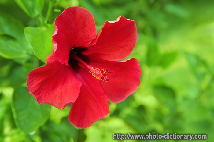 hibiscus - photo/picture definition at Photo Dictionary - hibiscus
