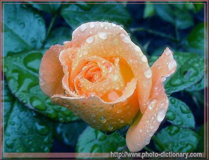 Rose   Photo/picture Definition   Rose Word And Phrase Image
