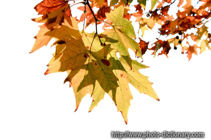 4443autumn_leaves.jpg