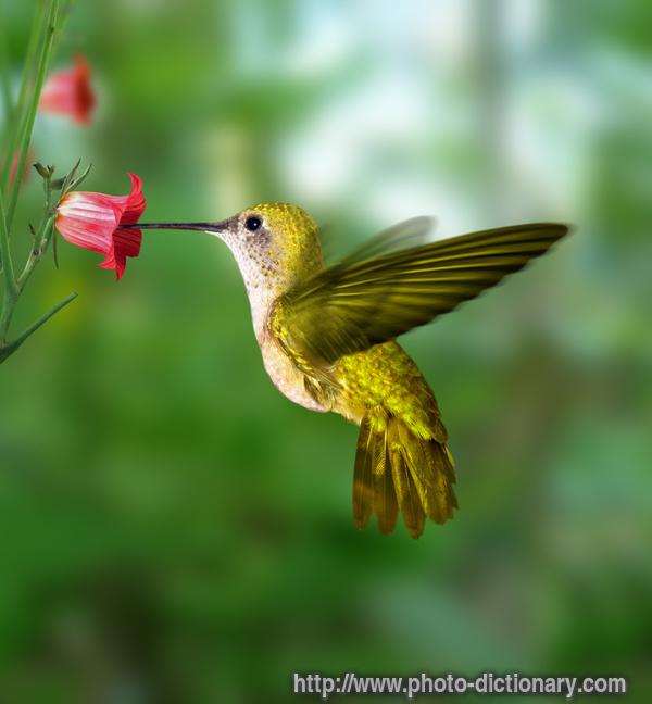 الطيور التي تضم أصغر 699hummingbird