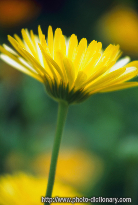 camomile - photo/picture definition at Photo Dictionary