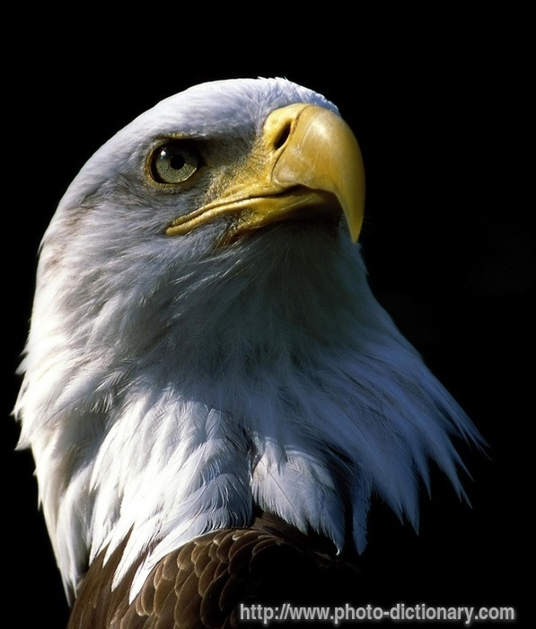 eagle - photo/picture definition - eagle word and phrase image