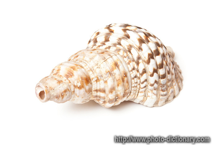 conch shell - photo/picture definition at Photo Dictionary - conch ...