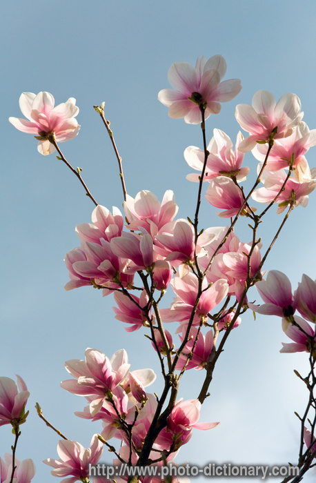 CVECE - Page 4 5148magnolia_blossoming