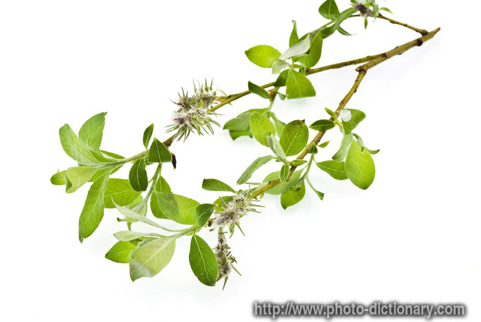 willow branch - photo/picture definition at Photo Dictionary ...