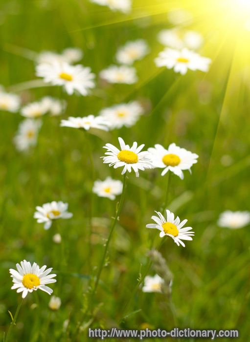 camomile field - photo/picture definition at Photo Dictionary ...