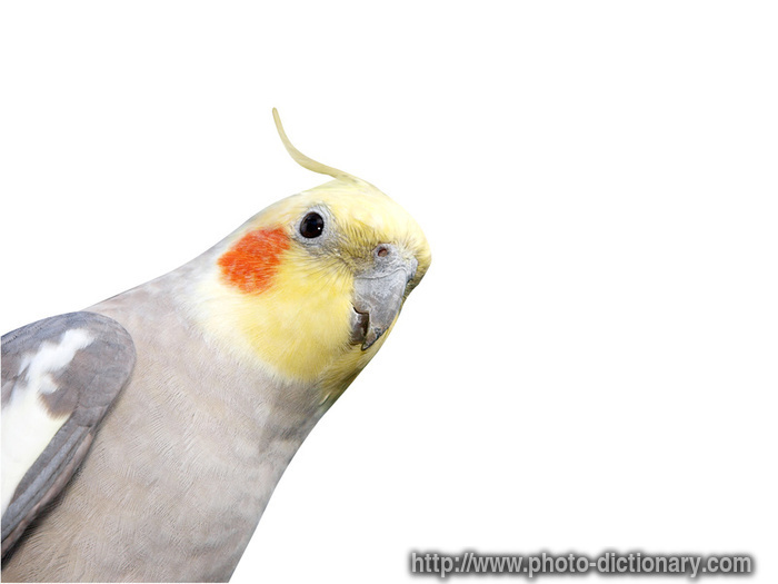cheeky cockatiel   photo picture definition at photo