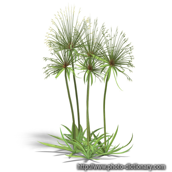 papyrus bushes - photo/picture definition at Photo ...