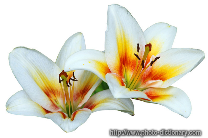 madonna lilies photo picture definition madonna lilies word and phrase