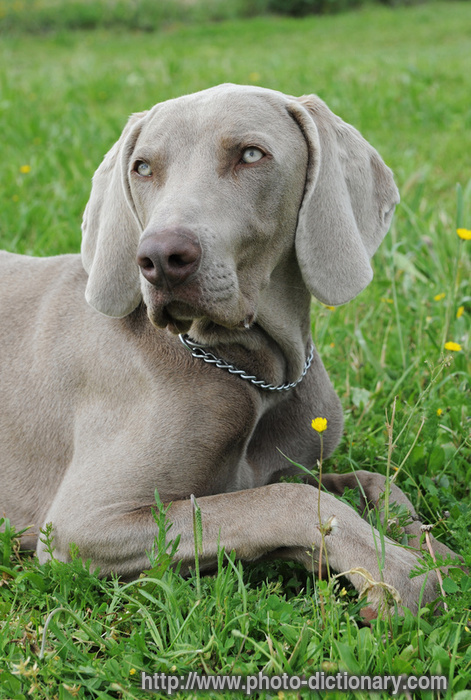Weimaraner Photo Picture Definition At Photo Dictionary