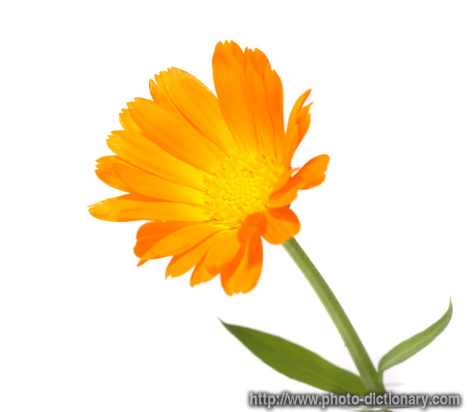 Calendula photo picture definition at photo dictionary for Flor definition