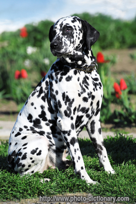 dalmatian dog - photo/picture definition - dalmatian dog word and ...