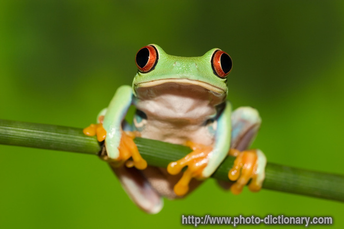 tree frog - photo/picture definition at Photo Dictionary - tree frog ...: www.photo-dictionary.com/phrase/5062/tree-frog.html