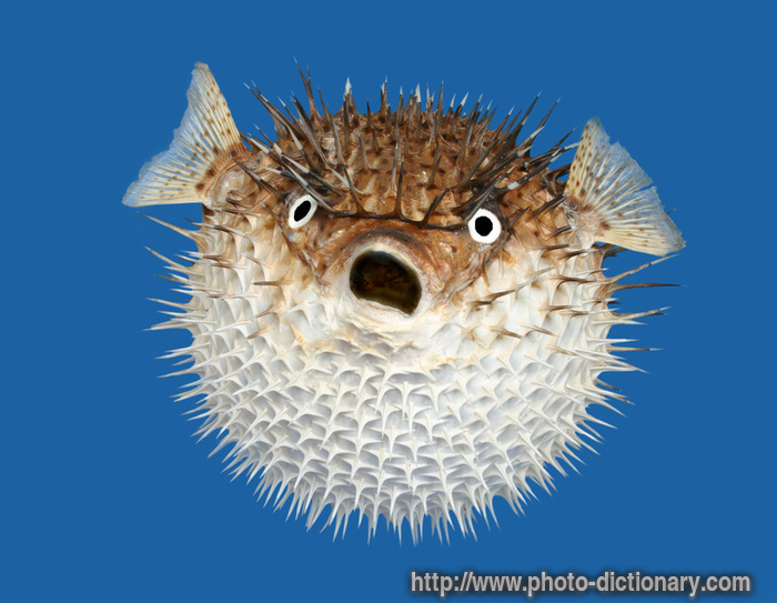 Porcupine fish photo picture definition at photo for Is fishes a word