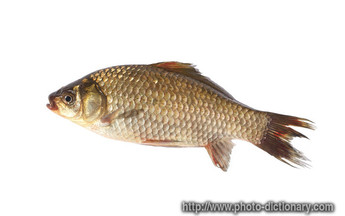 crucian carp fish photo picture definition at photo