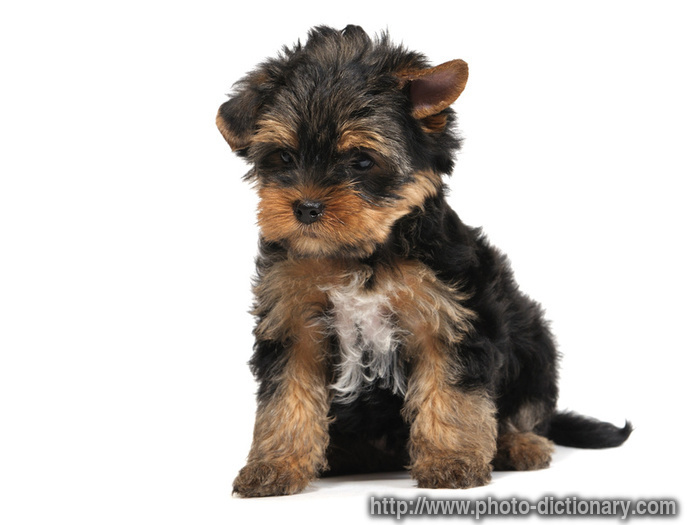 Lap Dog Breeds