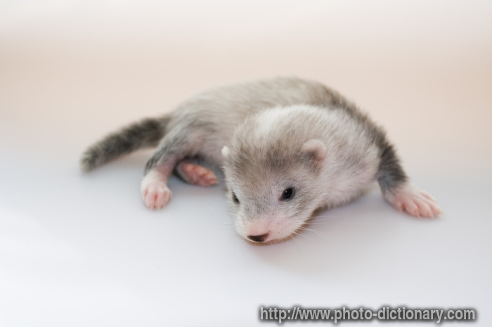 ferret baby - photo/picture definition - ferret baby word and phrase ...
