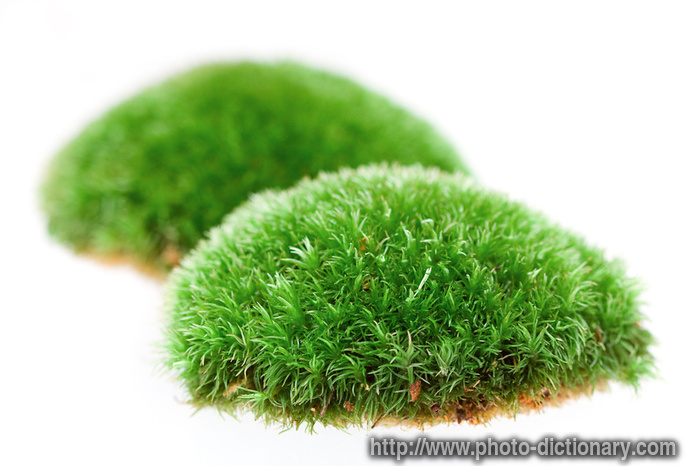 moss - photo  picture definition at photo dictionary