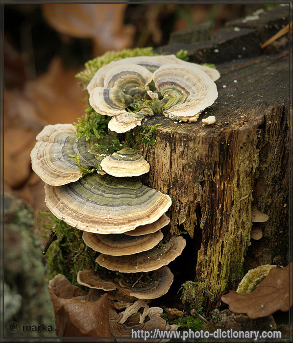 Bracket fungus photo picture definition at photo for Balcony meaning in english