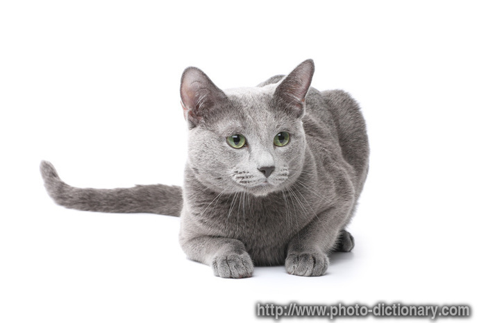 russian blue cat photopicture definition at photo dictionary blue cat 700x466