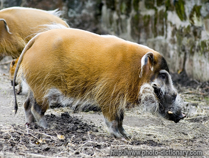 Red River Hog Boar Photo Picture Definition At Photo