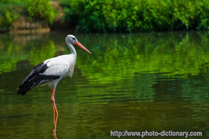 stork  picture definition at photo dictionary
