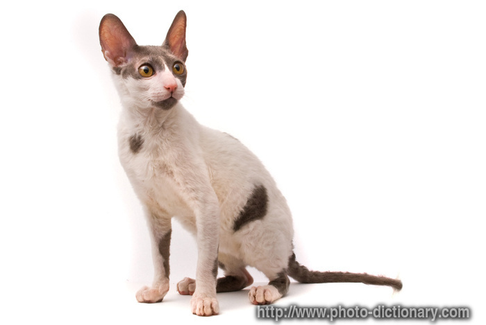 cornish rex cat - photo/picture definition - cornish rex cat word and phrase