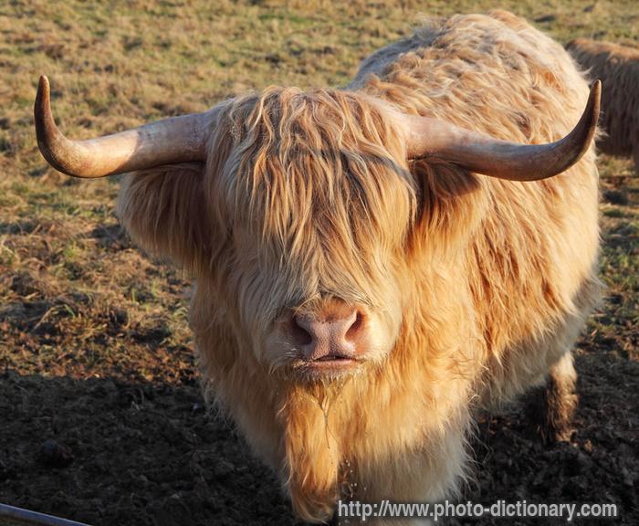 Scottish highland cattle animals pinterest