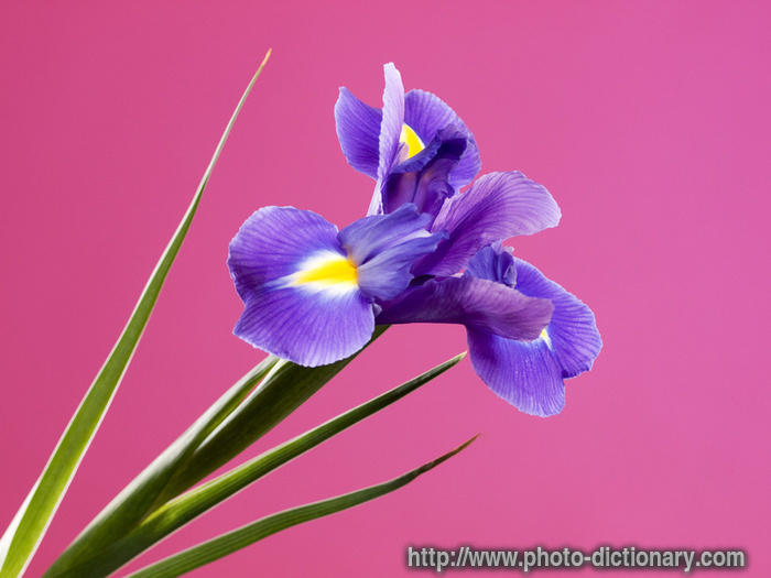 Violet Iris Photo Picture Definition At Photo Dictionary