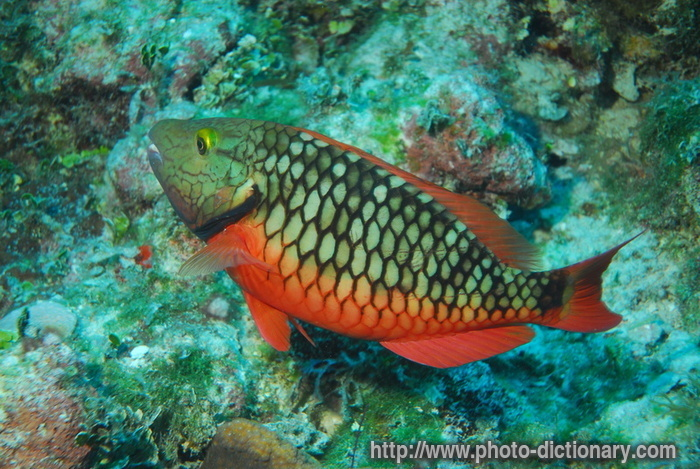 Red parrot fish photo picture definition at photo for Red parrot fish