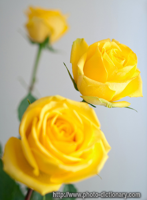 yellow roses pictures. yellow roses - photo/picture