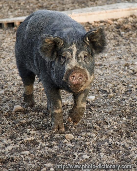 Swine Custom Feed & Productivity Solutions | Cargill