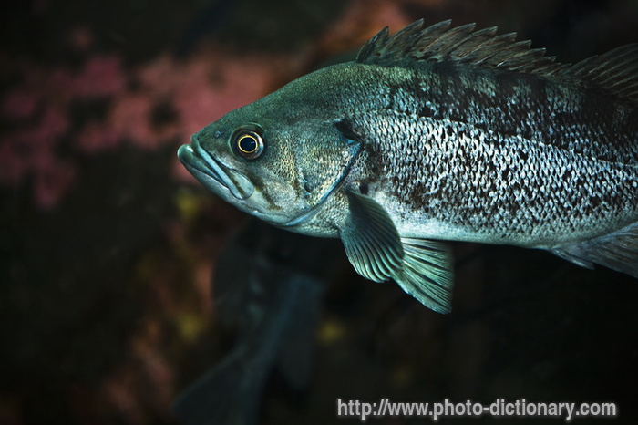 Rock cod fish photo picture definition at photo for Rock cod fish