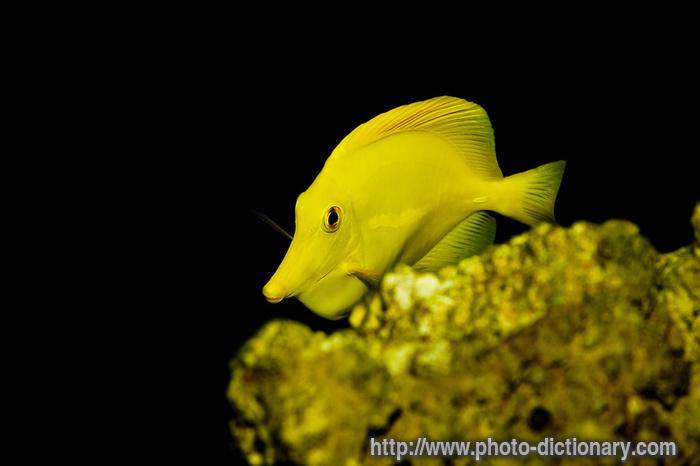 Yellow tang images for Yellow tang fish