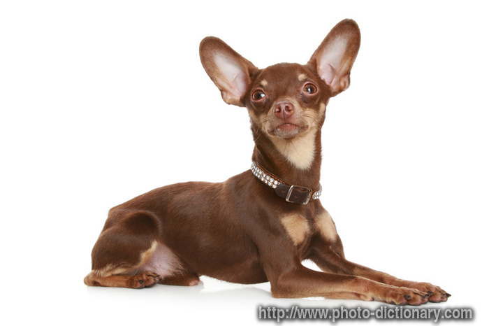 Russian toy terrier - photo/picture definition - Russian toy terrier ...