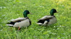 ducks - photo/picture definition - ducks word and phrase image