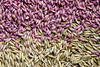 dry seeds - photo/picture definition - dry seeds word and phrase image