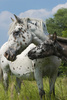 appaloosa horse - photo/picture definition - appaloosa horse word and phrase image